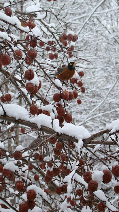 Robin on frozen tree